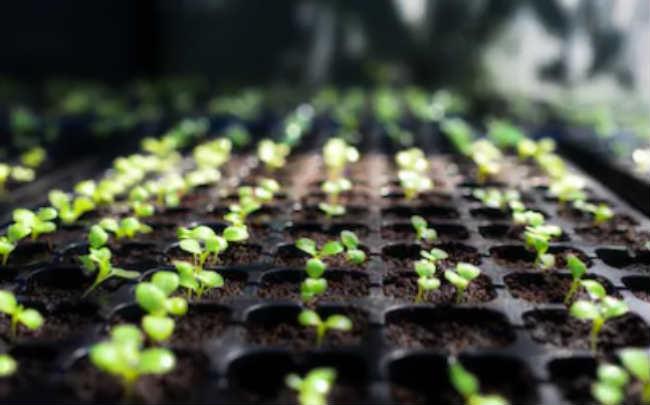 Выращиваем рассаду на продажу в домашних условиях